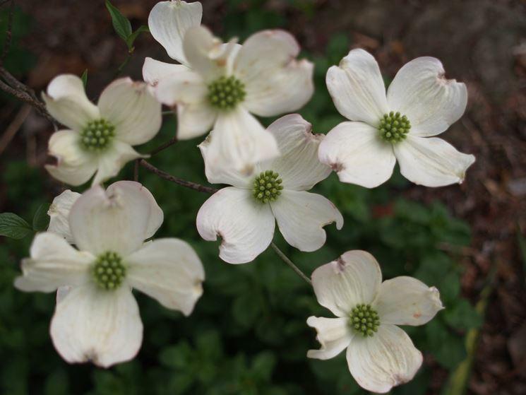 Dettaglio infiorescenze del Cornus florida.