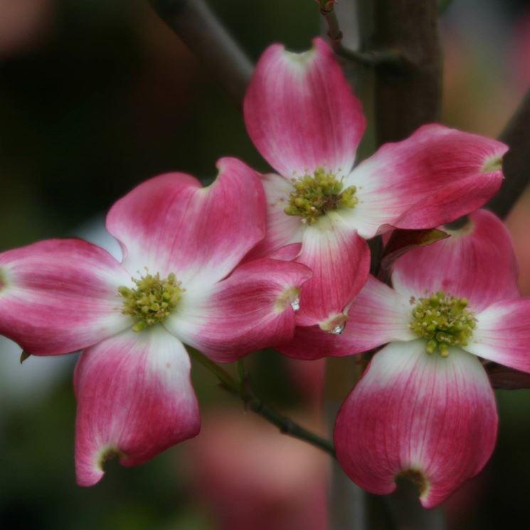Cornus florida durante l'attività vegetativa.