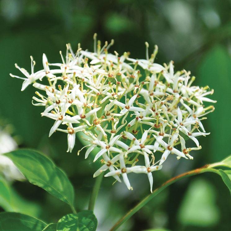 Sanguinella fiore