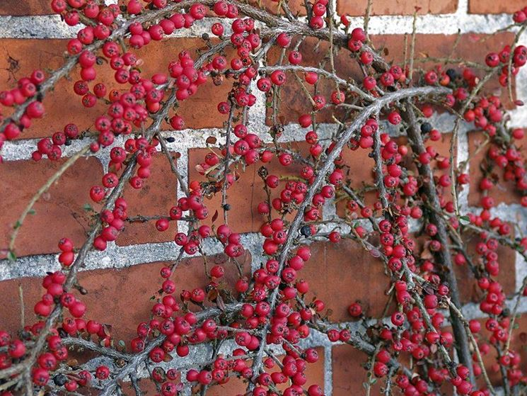 Cotoneaster horizzontalis
