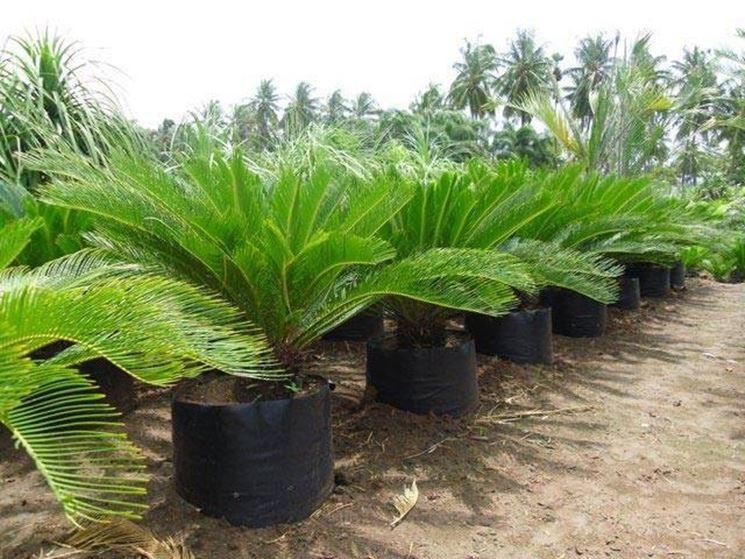 Cycas pianta piante da giardino caratteristiche della for Piante piccole da giardino