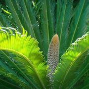 cycas pianta maschio
