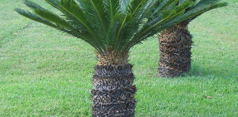 <h6>Cycas revoluta</h6>Scopri tutte le curiosit� sulla cycas revoluta! Una pianta dalle antiche origini ma che nasconde piccoli segreti!
