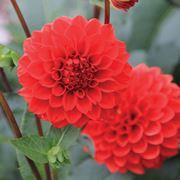 Dalia fiore