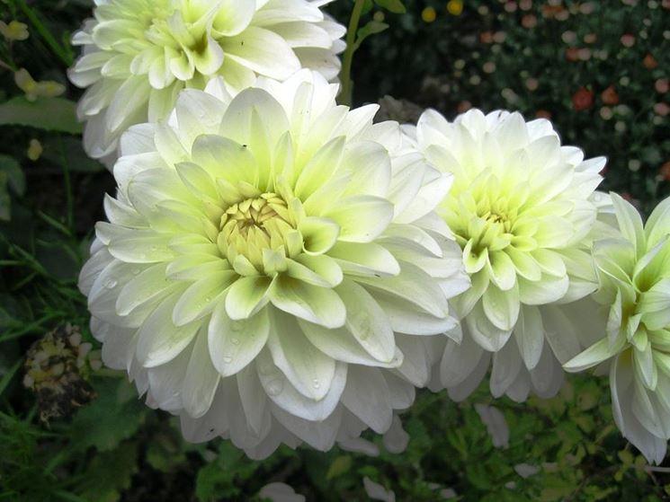 Fiori dalia bianca