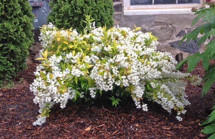 Piante Curative : Deutzia piante da giardino coltivare