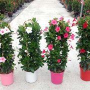 fiori dipladenia