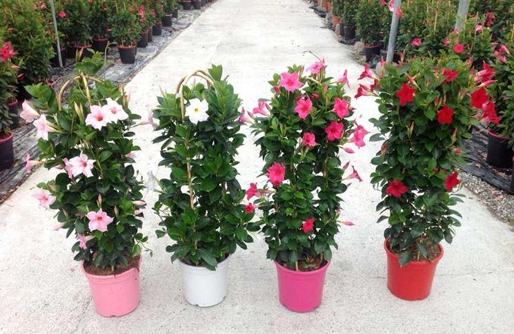 dipladenia piante da giardino coltivazione dipladenia