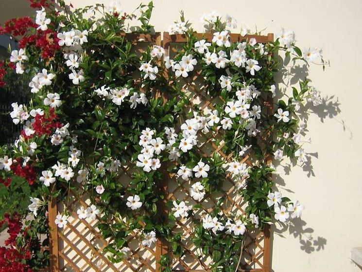 fiore mandevilla