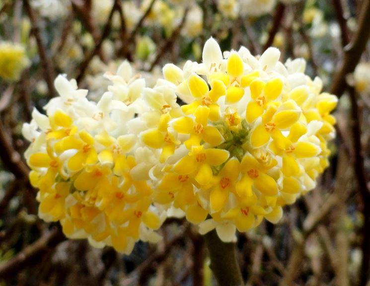 Edgeworthia chrysantha fiore