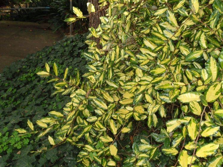 Eleagnus piante da giardino caratteristiche dell 39 eleagnus for Piante da cespuglio