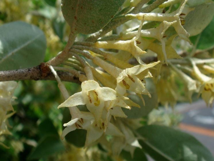 eleagnus umbellata fiori