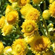 Capolini fioriti