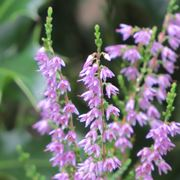 Erica fiori
