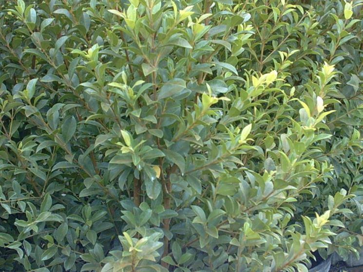 Eugenia pianta piante da giardino caratteristiche for Pianta eugenia