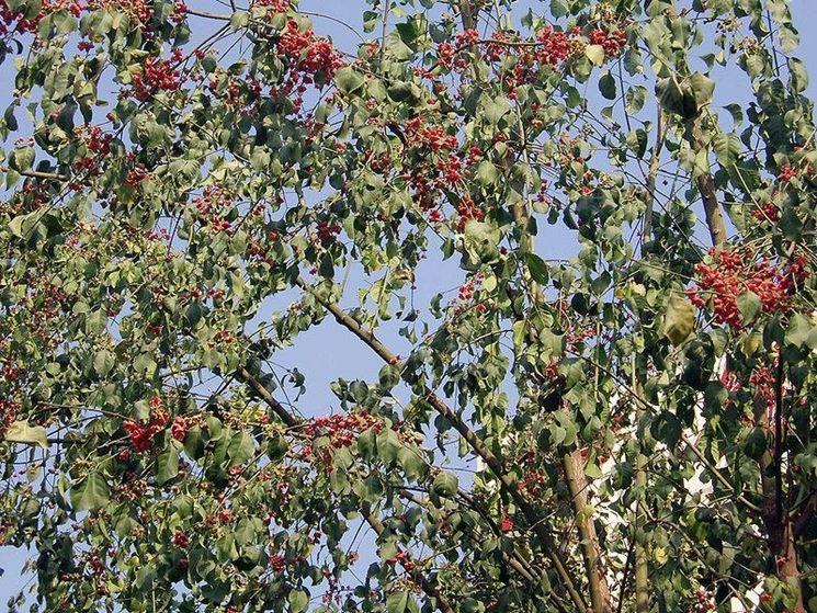 Euonymus Bungeanus Berries