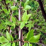euonymus alata