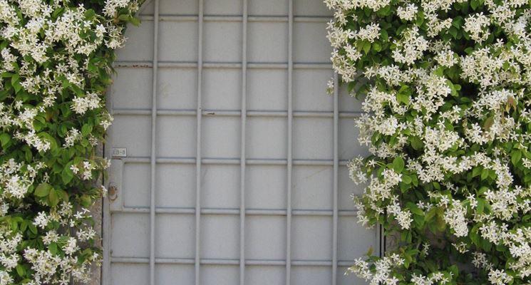 Finto Gelsomino durante la fioritura