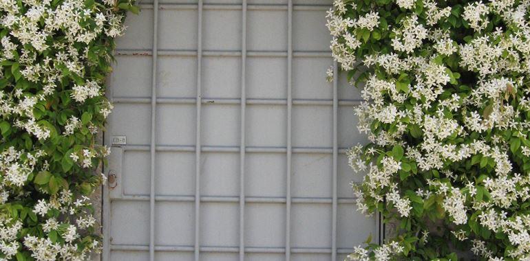 <h6>Finto gelsomino </h6>Vuoi impreziosire il tuo giardino con questa bella pianta dai fiori profumati? In questo articolo approfondiamo il Gelsomino.