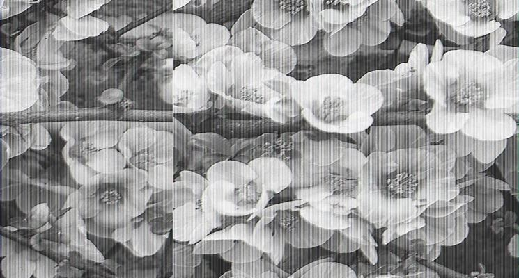 Chaenomeles japonica fiorita.