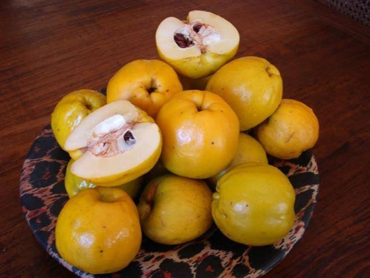 Frutti della chaenomeles japonica.