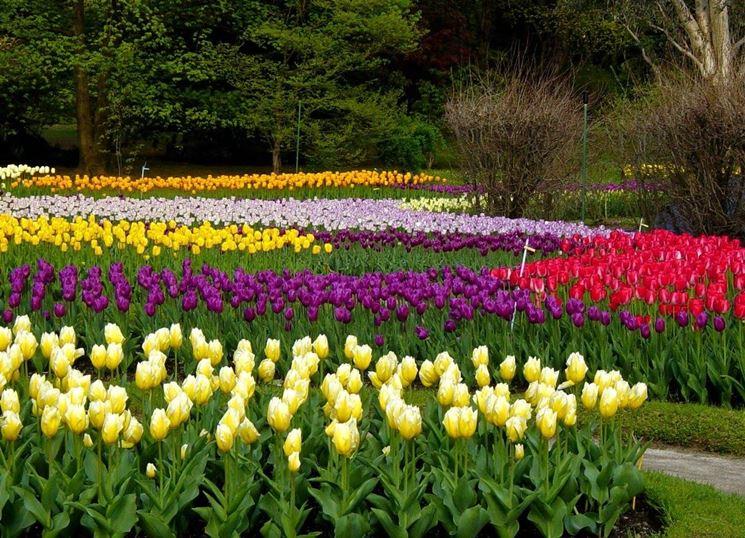 Distesa di tulipani