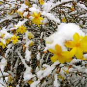 Gelsomino sotto la neve