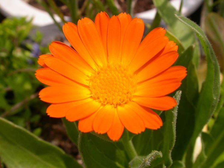 Fiori invernali piante da giardino caratteristiche dei for Fiori particolari da giardino