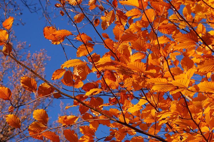 Colorazione autunnale delle foglie