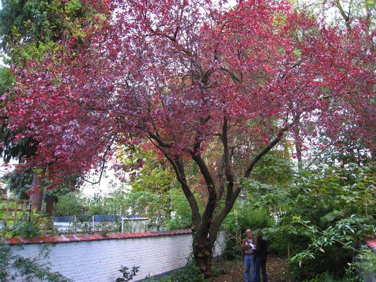 Alberi a foglie caduche: prunus cerasifera