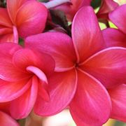Fiore di plumeria rosso