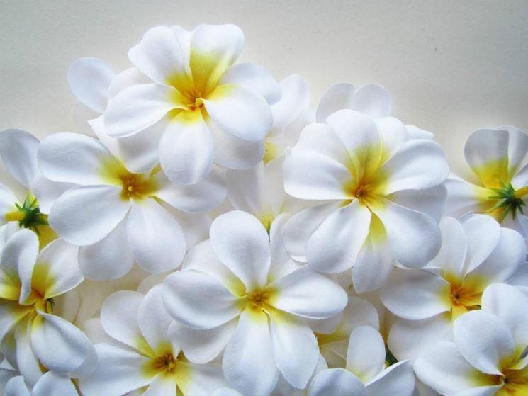 Fiore del paradiso