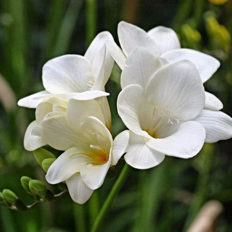 Fresia bianca pianta