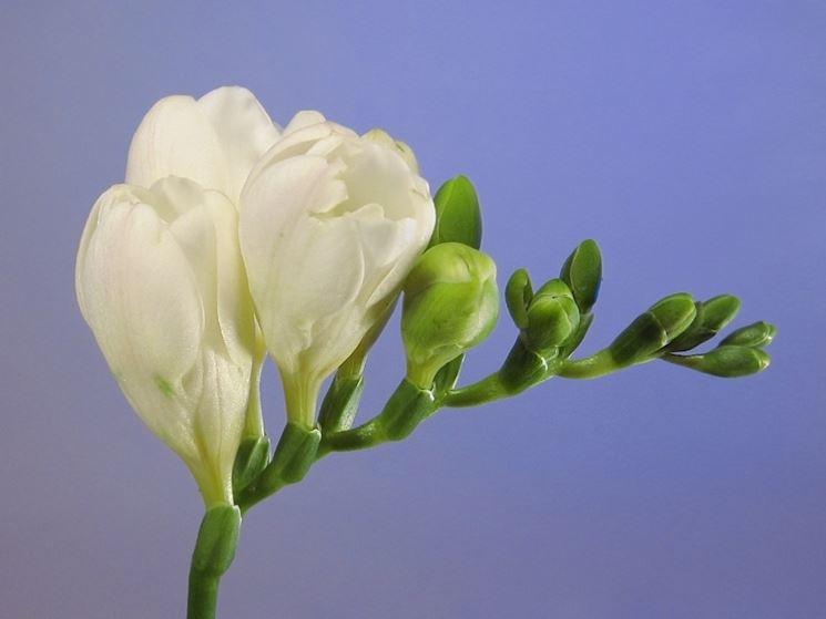 Boccioli fiori fresia