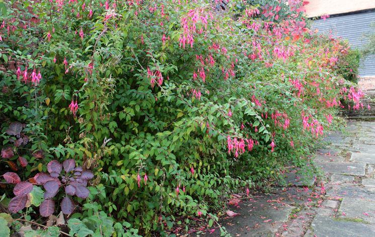 Fucsia in giardino