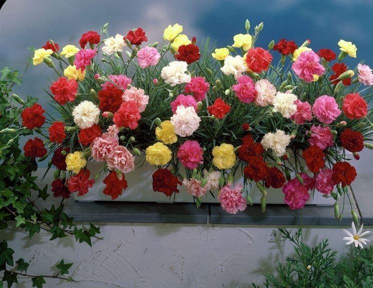 Pianta garofano multicolore