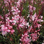 Gaura fiore