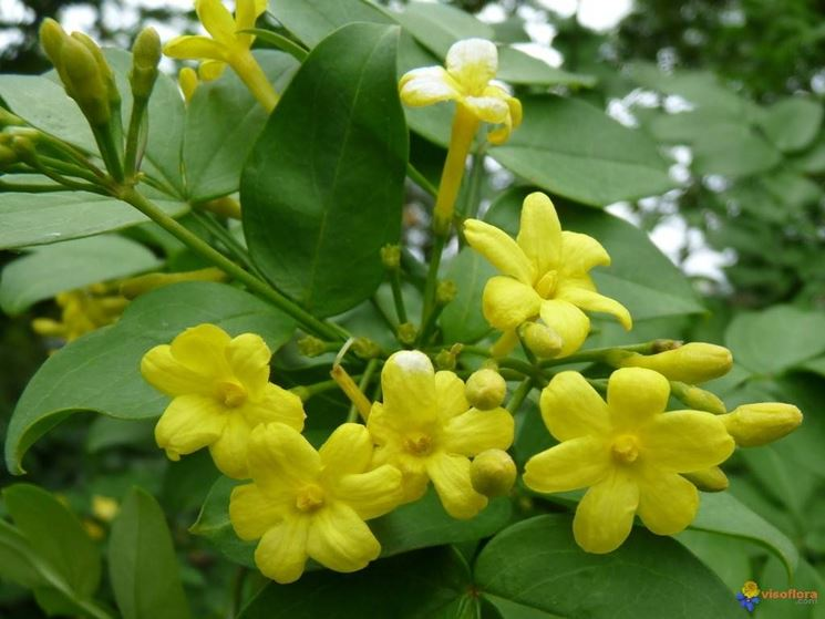 Gelsomino giallo piante da giardino gelsomino giallo - Piante cespugli da giardino ...