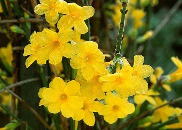 Particolare di gelsomino giallo