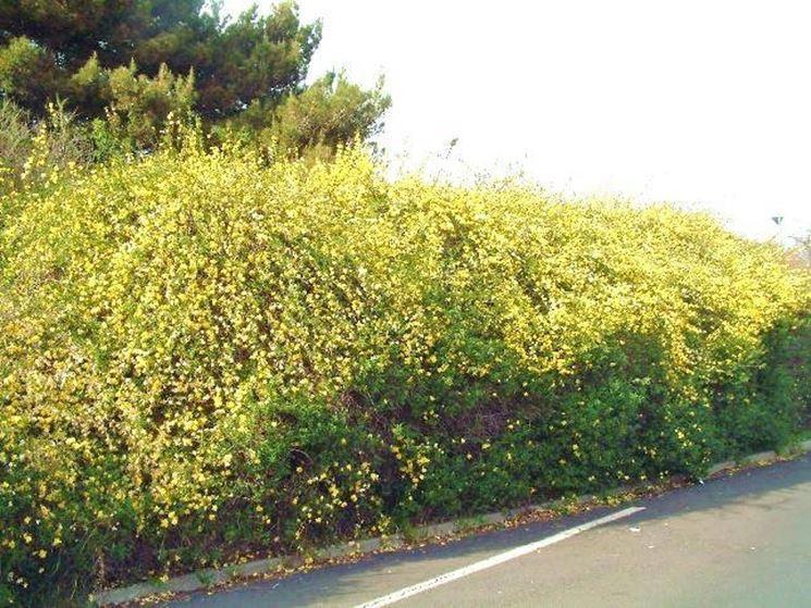 Siepe di gelsomino giallo