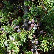 Bacche pianta ginepro