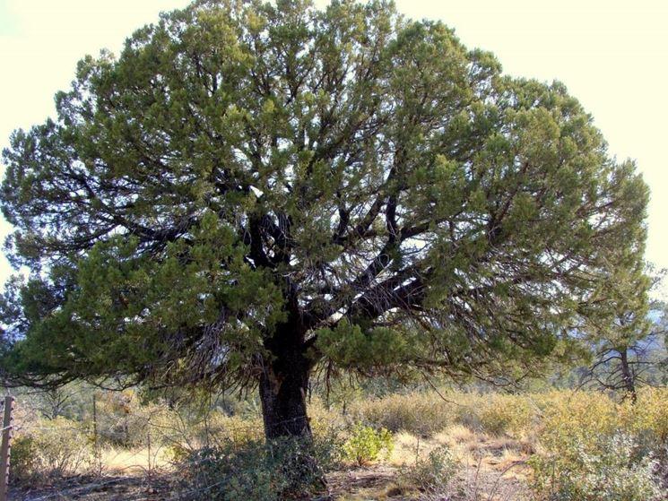 Coltivazione pianta ginepro