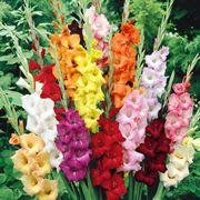 Mazzo gladioli