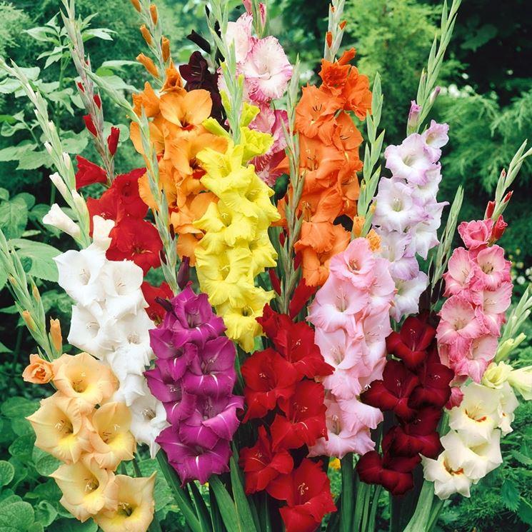 Gladioli piante da giardino piante gladiolo for Piante da giardino grandi