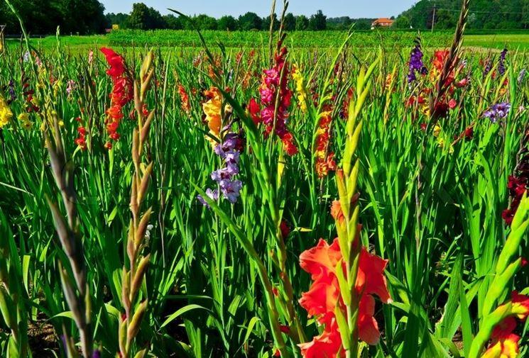 Campo fiori gladioli