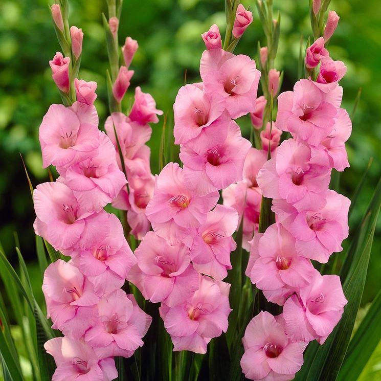 Gladioli rosa