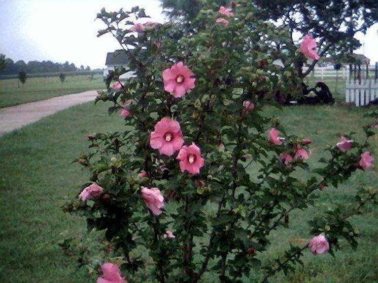 Hibiscus syriacus fiorito
