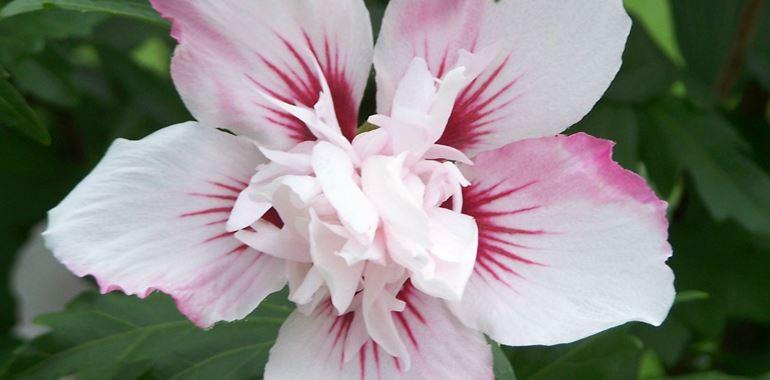 <h6>Hibiscus syriacus</h6>Bello. Cos� bello da meritare non solo di diventare il simbolo della bellezza stessa - nel linguaggio dei fiori esprime un tributo alla bellezza - ma anche di essere immortalato nei quadri di Gauguin. � il fiore dell'hibiscus syriacus, una pianta dai fiori incantevoli e dalle fronde aeree ed eleganti.