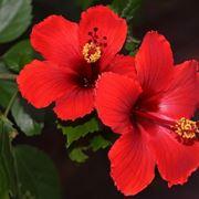 hibiscus pianta