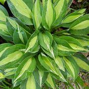 foglie hosta
